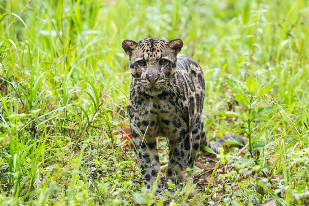 see clouded leopard wild