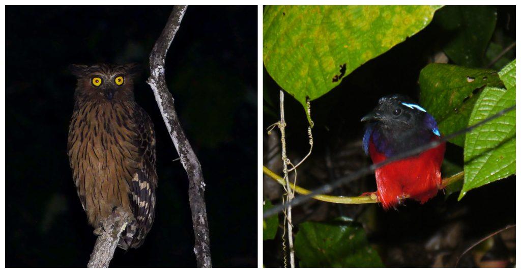 birds of Deramakot