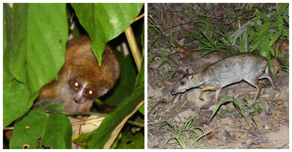 small mammals of Deramakot