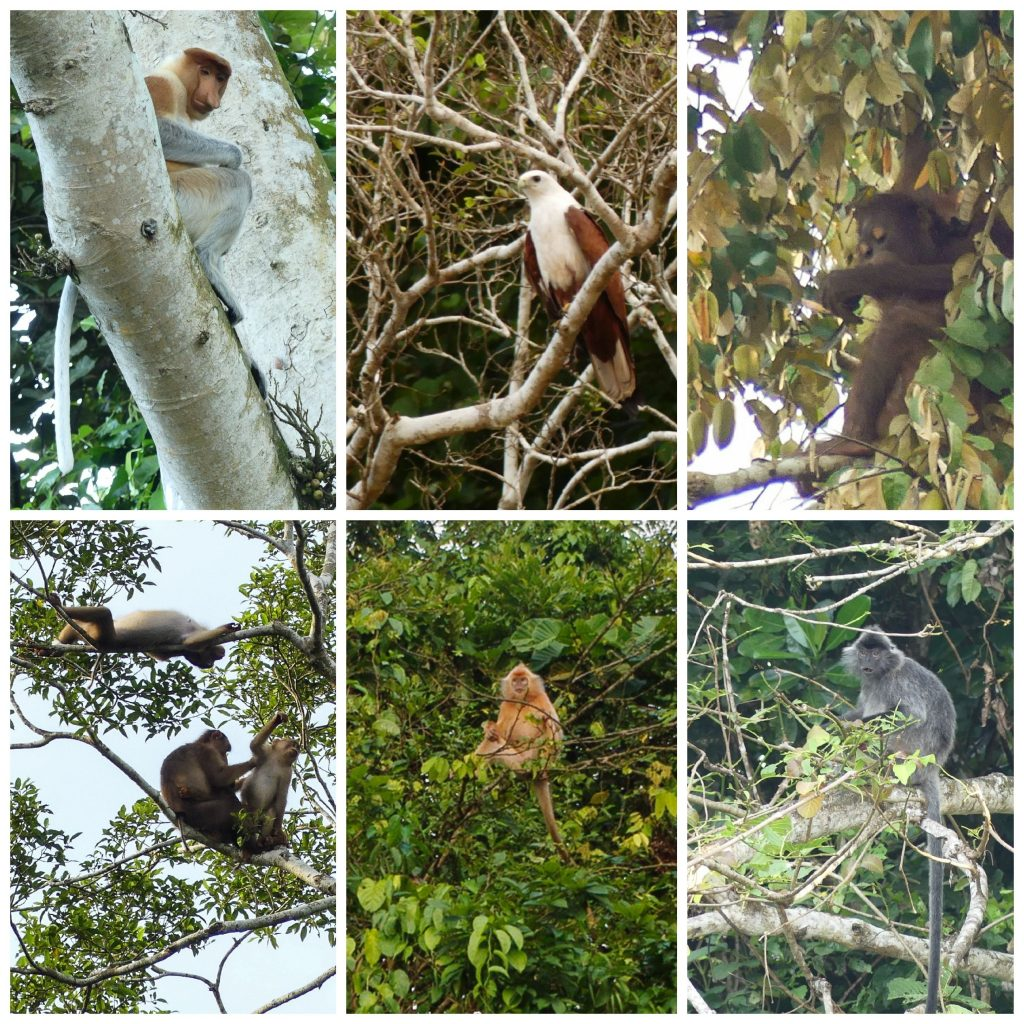 kinabatangan-arboreal-fauna