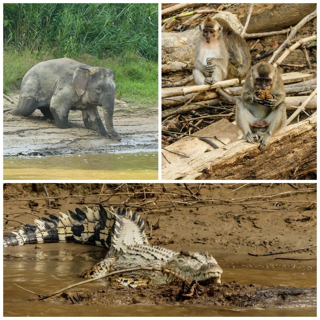 kinabatangan-riparian-fauna
